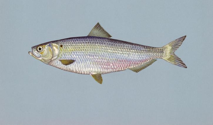 arenque pescado azul memoria