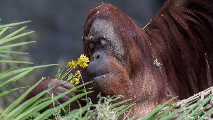 Persona no humana Sandra orangutana