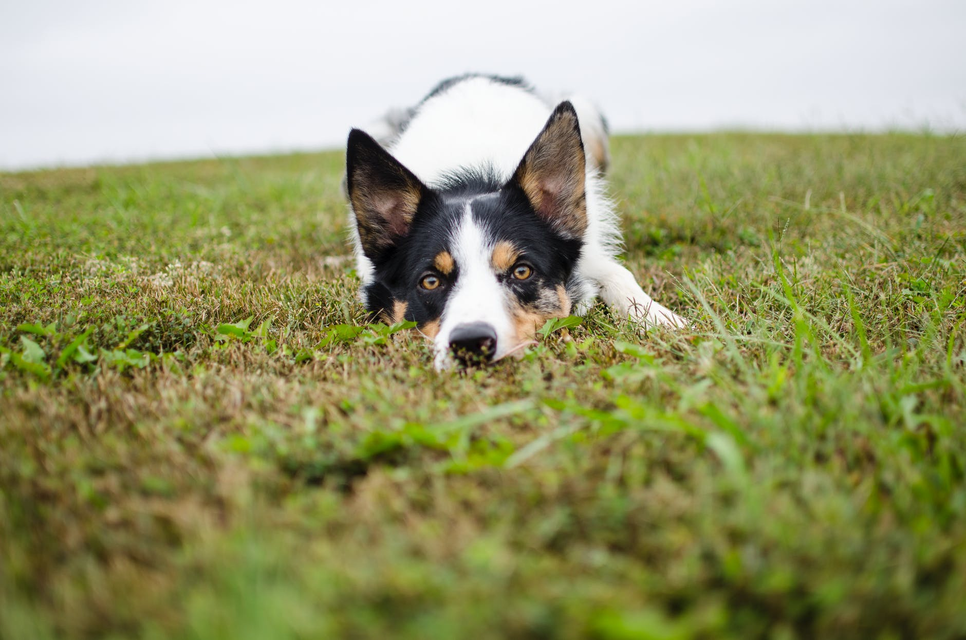 perro acostado en el pasto