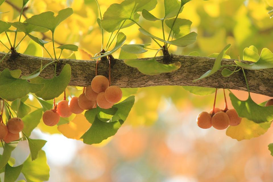árbol de ginkgo biloba